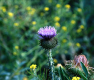 Bush of blooming prickly thistle Stock Images