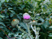 Bush of blooming prickly thistle Royalty Free Stock Photos