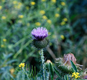 Bush of blooming prickly thistle Royalty Free Stock Photo
