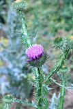 Bush of blooming prickly thistle Royalty Free Stock Images