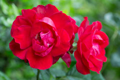Bush blooming red roses Stock Image