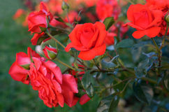Bush blooming red roses Royalty Free Stock Images