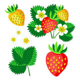 Bush blooming strawberry with berries and flowers vector set illustration Stock Images
