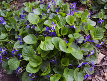 Bush blooming violets on the ground Stock Photography