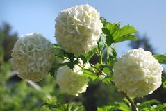 Bush blooming white hydrangea Royalty Free Stock Photo