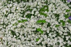 Bush blossom background Royalty Free Stock Image