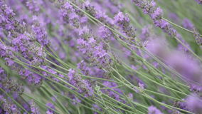 Bush of the blossoming lavender stock video footage