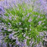 Bush of blossoming lavender in the field. Bush of blossoming lavender in the summer field stock images