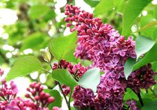 The bush of a blossoming lilac Royalty Free Stock Images