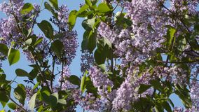 Bush blossoming lilac. Against the blue sky. Focus change stock footage