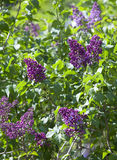 Bush of the blossoming lilac, Stock Photos