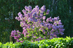 The bush of the blossoming lilac lit with the sun Royalty Free Stock Photography