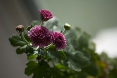 Bush of blossoming pink asters Stock Photography