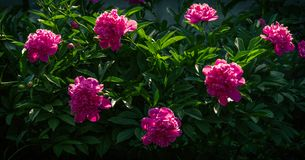 A bush of blossoming pink peonies on a blurred natural background royalty free stock image