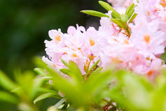 Bush of blossoming pink rhododendron Royalty Free Stock Photography