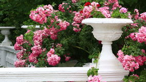 Bush of the blossoming pink roses stock footage