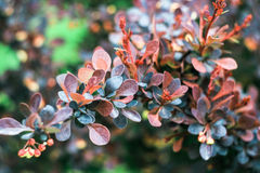 Bush with blue and burgundy leaves Royalty Free Stock Photos