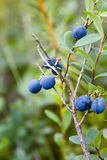 Bush of blueberries Stock Image