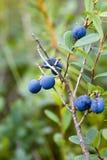 Bush of blueberries Stock Image