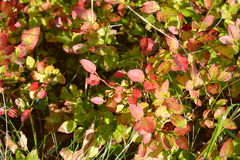 Bush blueberries in autumn. Royalty Free Stock Images