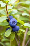 Bush of blueberries close-up royalty free stock images