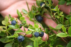 A bush of blueberries in a female palm stock photo