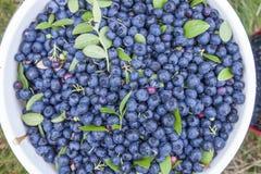 Bush blueberries Vaccinium corymbosum Royalty Free Stock Images