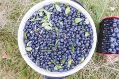 Bush blueberries, vaccinium corymbosum Royalty Free Stock Photo