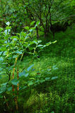 Bush blueberry Royalty Free Stock Images
