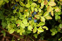 Bush blueberry Stock Photography