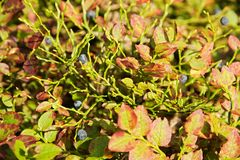 Bush blueberry Stock Photo