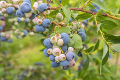 Bush of a blueberry closeup Royalty Free Stock Photo