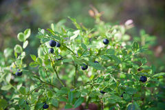 Bush of blueberry in the forest Stock Photos