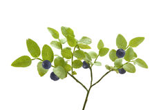 Bush of blueberry Royalty Free Stock Photography