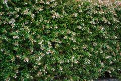 Bush-Blumenwand-Naturhintergrund Stockfoto