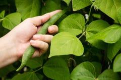 Bush-Bohnen werden geerntet Stockbild