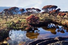 bush bonettias Стоковые Фотографии RF