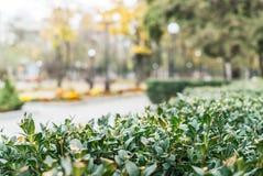 Bush boxwood na tle jesieni miasta park Zdjęcia Royalty Free