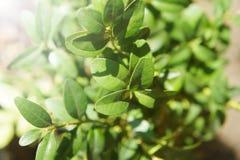 Bush boxwood, zielony krzak dekoracyjny, dla krajobrazowego projekta obraz royalty free