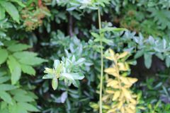 Bush Branch Protruding. Towards garden away from others stock photos
