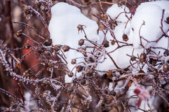 The bush branches covered by the snow Stock Photography