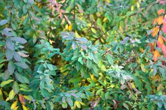 Bush branches with green to purple and yellow leaves royalty free stock photo