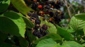 Bee flies to the berries a ripe juicy blackberry. Bush branches is juicy ripe blackberry. Ripe blackberry hang on branches in the rain stock video