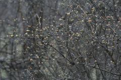 Bush branches with sprouts. Sring background. Royalty Free Stock Photo