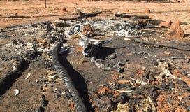 Bush-brand dodend vee Royalty-vrije Stock Afbeeldingen