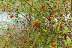 Bush of brier Stock Photography