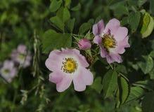 A bush of brier(wild rose) Stock Photos