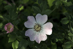 A bush of brier (wild rose) is in spring Stock Photography