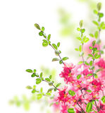 Bush with bright pink flowers, green leaves and young  twigs Stock Photos