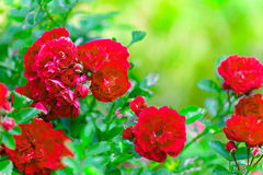 The bush of bright red roses in the garden on a green background Royalty Free Stock Photos